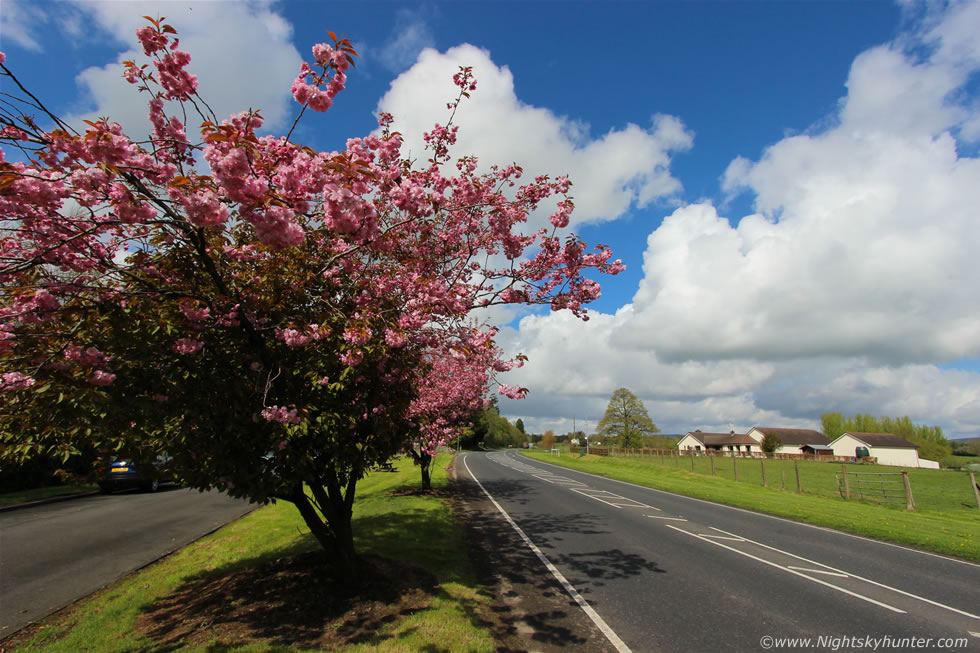 Cookstown Cherry Blossoms